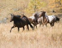 άλογο κοπαδιών που επισ Στοκ εικόνες με δικαίωμα ελεύθερης χρήσης