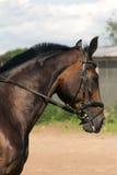 άλογο κόλπων Στοκ εικόνες με δικαίωμα ελεύθερης χρήσης