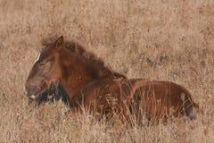 άλογο λίγα νυσταλέα Στοκ Φωτογραφίες