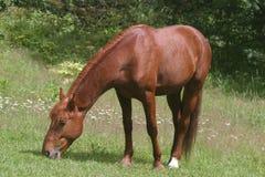 άλογο λιβαδιών Στοκ φωτογραφία με δικαίωμα ελεύθερης χρήσης