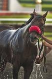 άλογο λουτρών Στοκ Εικόνες