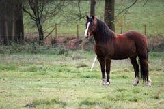 άλογο πεδίων που στέκετ&alph Στοκ Εικόνες