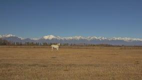 Άλογο περπατήματος και τρεξίματος Άσπρες κινήσεις αλόγων αργά στα πλαίσια του βόσκοντας κοπαδιού Άλογο που τρέχει απόθεμα βίντεο