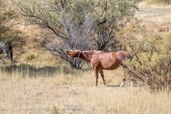 Άλογο που γελά σε ένα λιβάδι φθινοπώρου Στοκ Εικόνα