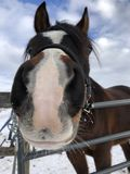 Άλογο που λέει γειά σου Στοκ εικόνα με δικαίωμα ελεύθερης χρήσης