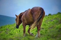Άλογο που περπατά σε ένα φρέσκο λιβάδι βουνών Στοκ φωτογραφία με δικαίωμα ελεύθερης χρήσης