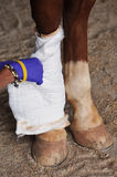 άλογο που τραυματίζεται Στοκ φωτογραφία με δικαίωμα ελεύθερης χρήσης