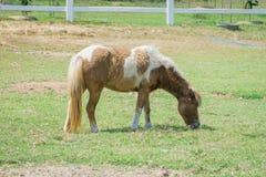 άλογο που τρώει στον πράσινο τομέα χλόης στοκ εικόνες με δικαίωμα ελεύθερης χρήσης