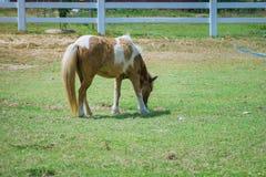 άλογο που τρώει στον πράσινο τομέα χλόης στοκ φωτογραφία με δικαίωμα ελεύθερης χρήσης