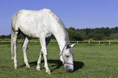Άλογο σε ένα λιβάδι Στοκ φωτογραφίες με δικαίωμα ελεύθερης χρήσης