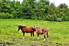 Άλογο στην αγροτική εκτός κράτους κομητεία του Franklin, Νέα Υόρκη, Ηνωμένες Πολιτείες στοκ φωτογραφίες
