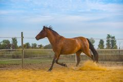 Άλογο στη φύση Πορτρέτο ενός αλόγου, καφετί άλογο Στοκ Εικόνα