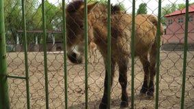 Άλογο στο ζωολογικό κήπο απόθεμα βίντεο