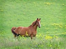 Άλογο στο λιβάδι στη Σιβηρία στοκ φωτογραφία