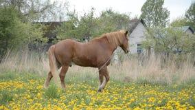 Άλογο στο πράσινο λιβάδι χλόης απόθεμα βίντεο