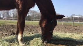 Άλογο στο στενό διάδρομο, άλογο που τρώει το σανό απόθεμα βίντεο
