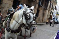 άλογο της Αβάνας στοκ εικόνα