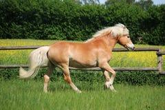 Άλογο τρεξίματος haflinger στη μάντρα στοκ φωτογραφίες