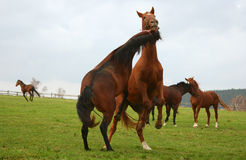 άλογο 5 Στοκ Εικόνα