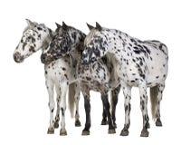 άλογο appaloosa Στοκ Φωτογραφία