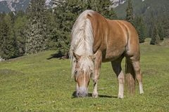 Άλογο Haflinger σε ένα λιβάδι βουνών στοκ εικόνες