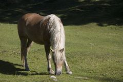 Άλογο Haflinger σε ένα λιβάδι βουνών στοκ φωτογραφία με δικαίωμα ελεύθερης χρήσης