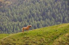 Άλογο Haflinger στους δολομίτες Στοκ Φωτογραφία