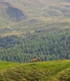 Άλογο Haflinger στους δολομίτες Στοκ Εικόνες