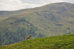 Άλογο Haflinger στους δολομίτες Στοκ Εικόνα