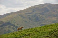 Άλογο Haflinger στους δολομίτες Στοκ Φωτογραφίες