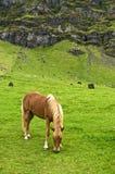 άλογο iclandic Στοκ εικόνα με δικαίωμα ελεύθερης χρήσης