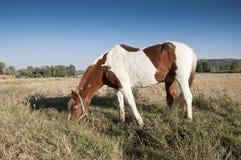 άλογο pinto Στοκ Εικόνες