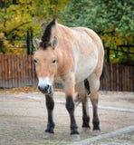 Άλογο Przewalski ή άλογο Dzungarian στο ζωολογικό κήπο Το άλογο Przewalski είναι ένα σπάνιο και διακυβευμένο υποείδος του άγριου  Στοκ εικόνα με δικαίωμα ελεύθερης χρήσης