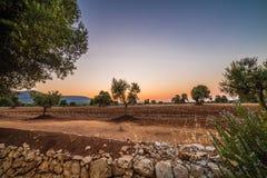 Άλση ελιών Apulian Στοκ Εικόνες