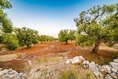 Άλση ελιών Apulian Στοκ Εικόνα