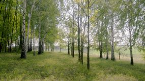 άλσος θερινών τοπίο-σημύδων σε έναν λόφο στοκ εικόνες