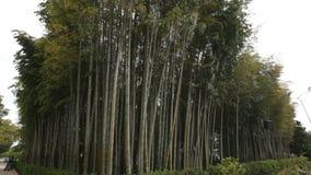 Άλσος μπαμπού στο βοτανικό κήπο πόλεων, πράσινη φύση, αστική οικολογία, περιβάλλον απόθεμα βίντεο