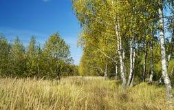 Άλσος σημύδων στην εποχή φθινοπώρου Στοκ εικόνες με δικαίωμα ελεύθερης χρήσης