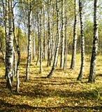 Άλσος σημύδων στην εποχή φθινοπώρου Στοκ εικόνα με δικαίωμα ελεύθερης χρήσης