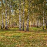 Άλσος σημύδων το φθινόπωρο την ηλιόλουστη ημέρα στοκ εικόνα με δικαίωμα ελεύθερης χρήσης