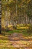 Άλσος σημύδων το φθινόπωρο την ηλιόλουστη ημέρα στοκ φωτογραφίες με δικαίωμα ελεύθερης χρήσης