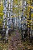 Άλσος σημύδων φθινοπώρου στοκ εικόνα με δικαίωμα ελεύθερης χρήσης