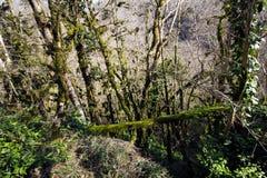 Άλσος Yew και πυξαριού στοκ εικόνες