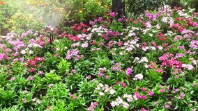 Άλτης με το πότισμα των λουλουδιών στον κήπο απόθεμα βίντεο