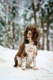 άλτης σπανιέλ σκυλιών Στοκ εικόνα με δικαίωμα ελεύθερης χρήσης