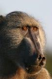 άλφα baboon αρσενικό Στοκ εικόνα με δικαίωμα ελεύθερης χρήσης