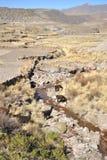 λάμα alva στοκ εικόνες
