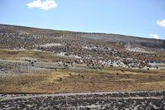 λάμα alva στοκ φωτογραφία με δικαίωμα ελεύθερης χρήσης