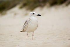άμμος γλάρων Στοκ φωτογραφίες με δικαίωμα ελεύθερης χρήσης