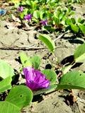 Άμμος-λουλούδι; στοκ φωτογραφίες